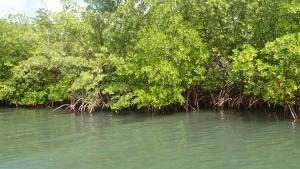 Mangrove tur med jollen