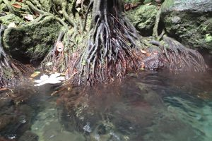 Rötter ner i Emerald Pool