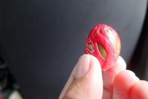 Muskotnöten döljs i ett  plommonliknande hölje, sedan skalas det röda av och där hittar man skatten