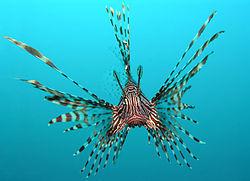 Lionfisch - bilden är från Wikipedia